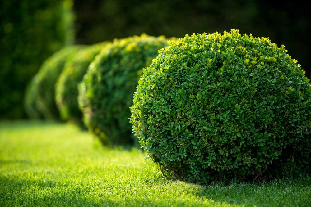 landscaping-shrubs