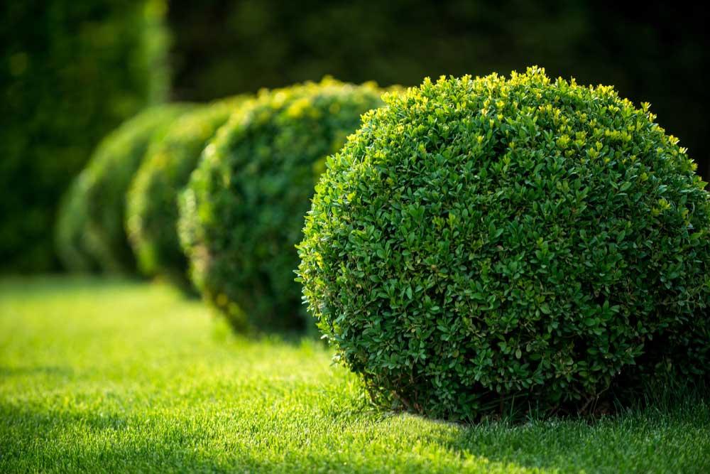 landscaping-shrubs